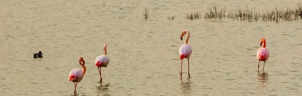 flamingi kroczące w wodach jeziora na Cyprze